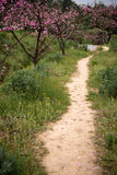 Footpath in peach orchard Royalty Free Stock Images