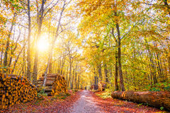 Footpath with piles of wood logs in a forest. In autumn Stock Image
