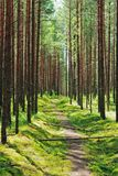 Footpath in pine forest Stock Images
