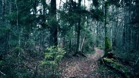 Footpath in a pine forest stock footage
