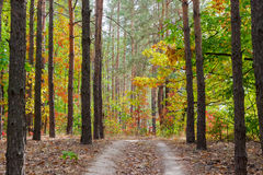 Footpath in the pine forest autumn Royalty Free Stock Photos