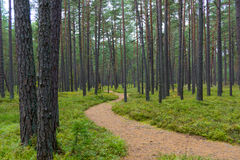 Footpath in a pine forest in Jurmala Stock Photography