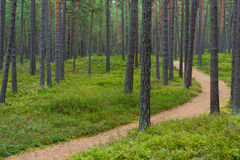 Footpath in a pine forest in Jurmala Stock Photos