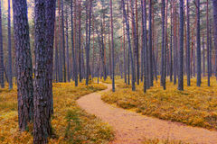 Footpath in a pine forest in Jurmala Stock Photo