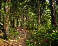 Footpath through a pine forest Stock Images