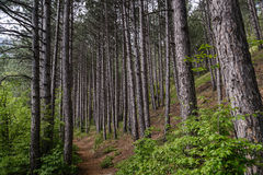 Footpath through a pine forest. Landscape with a footpath through a pine forest Royalty Free Stock Photo