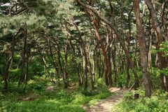 Footpath and pine forest in Paldal mountain Stock Images