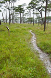 Footpath at pine tree forest Thailand Royalty Free Stock Photo