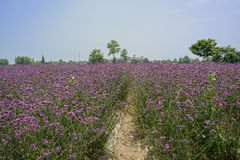 Footpath in purple blooming farmlands in sunny summer Royalty Free Stock Photography