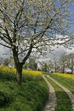 Footpath with rape field and cherry tree Royalty Free Stock Images