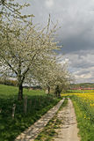 Footpath with rape field and cherry trees Royalty Free Stock Images