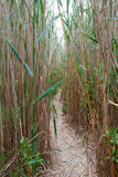 Footpath in a reed. Thickets Royalty Free Stock Photo