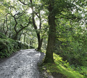 Footpath in relict forest after rain. Stock Images