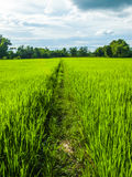 Footpath of rice. Footpath in a field with green rice and sky Royalty Free Stock Images
