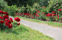 Footpath in roses garden Stock Photography