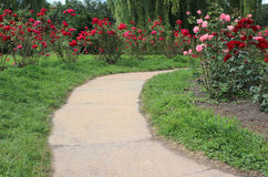 Footpath in roses garden Royalty Free Stock Photos