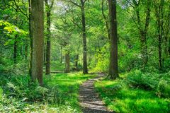 A footpath running through an English forest. stock photos