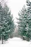 Footpath Among Snow-covered Spruces And Pines Stock Photos