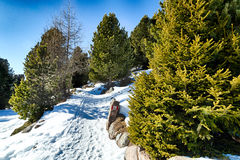 Footpath in snow among pines on Dolomites mountains Royalty Free Stock Image
