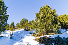 Footpath in snow among pines on Dolomites mountains Stock Photos