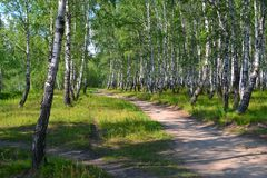 Footpath in the summer birch wood. Stock Images