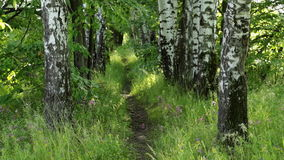 Footpath  in the summer forest stock video