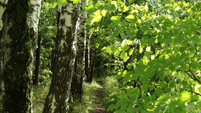 Footpath  in the summer forest stock video footage