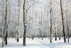 Footpath in sunny winter birch forest Stock Photos
