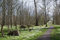 Footpath surrounded of wood anemones Stock Photography