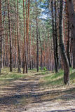 Footpath to a pine forest Stock Photos