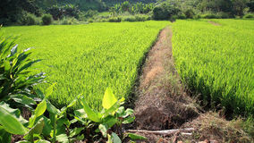 Footpath to rice field Stock Images