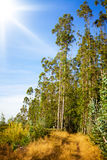 Footpath trough eucalyptus forest Royalty Free Stock Photo