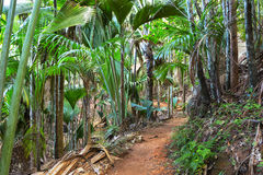 Footpath in The Vallee De Mai palm forest May Valley, island of Praslin, Seychelles.  royalty free stock photo