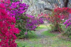 Footpath through Vivid Colored Azalea Bushes stock photo