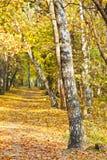 Footpath w żółtym jesieni brzozy lesie Obrazy Stock