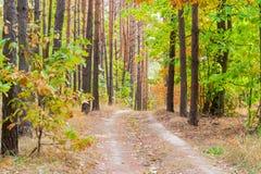 Footpath w sosnowej lasowej jesieni Obrazy Royalty Free