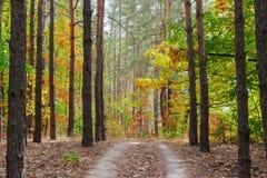 Footpath w sosnowej lasowej jesieni Zdjęcia Royalty Free