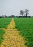 Footpath through a wheat field. Stock Photography