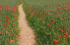 Footpath through wheat field with red poppies, daylight Stock Photography