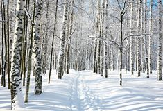 Footpath in winter birch forest Stock Photo