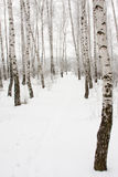 Footpath in winter forest. Footpath between birches in winter forest Stock Photos