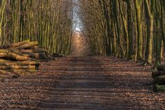 Footpath in a winter forest. With stacks of felled trees on the side, seen at Saarner Mark, Muelheim an der Ruhr, North Rhine-Westphalia, Germany Royalty Free Stock Image