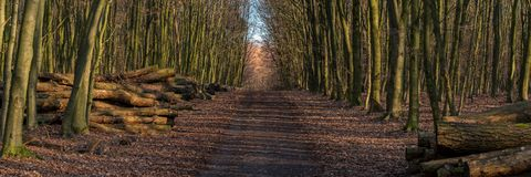 Footpath in a winter forest. With stacks of felled trees on the side, seen at Saarner Mark, Muelheim an der Ruhr, North Rhine-Westphalia, Germany Royalty Free Stock Photos