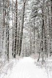 Footpath in the winter. Pine forest Stock Photos