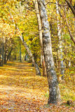 Footpath in yellow autumn birch forest Stock Images