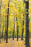 Footpath in yellow forest in autumn Stock Photo