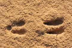 Footprint. Imprint of the hoof of an African antelope in the sand Royalty Free Stock Images