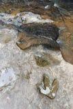 Footprint of dinosaur Carnotaurus on ground near stream at Phu Faek national forest park , Kalasin ,Thailand . Water logged on. It royalty free stock images