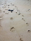 Footprint of a human and a dog at Toulinguet beach in France, 2014 Stock Images