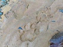 Footprint of jaguar on mud Stock Images